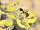 Las hormigas llegan a Iquique
