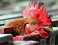 Gripe del Pollo: Fuera de Control