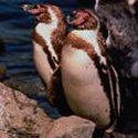 Pingüinos  japoneses ayudarán a repoblar colonias en las costas de Chile y Perú